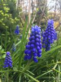 Muscari`s beautiful stock image