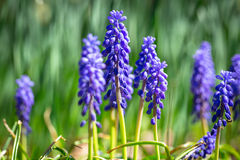 Muscari spring flowers Stock Image