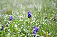 Muscari spring in a forest clearing Royalty Free Stock Image