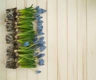 Muscari sur un fond en bois Ressort Fleurs bleues Fond en bois Images libres de droits
