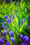 Muscari and tulips buds Stock Photo