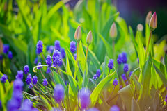 Muscari and tulips buds Royalty Free Stock Photography