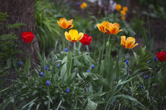 Muscari and Tulips. Red, yellow-orange tulips and blue Muscari in the garden Royalty Free Stock Photos