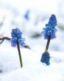 Muscari unter dem Schnee Stockbilder