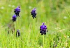 Muscari violeta da flor que cresce em um prado fotografia de stock