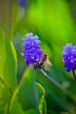 Muscari y abeja Fotos de archivo libres de regalías