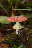 muscaria грибка пущи amanita Стоковое фото RF