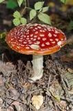Muscaria мухомора гриба Стоковая Фотография RF