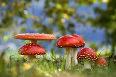 Muscaria мухомора, много пластинчатых грибов мухы в траве Стоковое фото RF