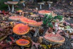 Muscaria мухомора мухы пластинчатого гриба мухы Стоковые Изображения RF