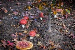 Muscaria мухомора мухы пластинчатого гриба мухы Стоковое Изображение