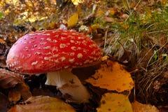 Muscaria мухомора пластинчатого гриба мухы, ядовитый toadstool от лесов Стоковые Изображения