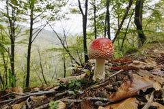 Muscaria мухомора, пластинчатый гриб мухы или мухомор мухы Стоковое Изображение RF