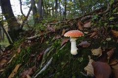 Muscaria мухомора, пластинчатый гриб мухы или мухомор мухы Стоковое Изображение