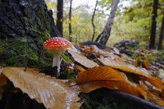 Muscaria мухомора, пластинчатый гриб мухы или мухомор мухы Стоковая Фотография RF