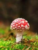 Muscaria мухомора, ядовитый гриб Фото было принято в естественную предпосылку леса Стоковые Фото