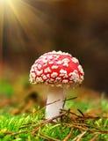 Muscaria мухомора, ядовитый гриб Фото было принято в естественную предпосылку леса Стоковое фото RF