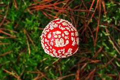 Muscaria мухомора, ядовитый гриб Фото было принято в естественную предпосылку леса Стоковое Изображение RF