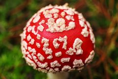Muscaria мухомора, ядовитый гриб Фото было принято в естественную предпосылку леса Стоковые Фотографии RF