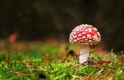 Muscaria мухомора, ядовитый гриб Фото было принято в естественную предпосылку леса Стоковые Изображения RF