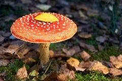 Muscaria мухомора, ядовитый гриб стоковые изображения