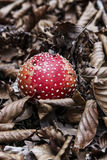 Muscaria мухомора Стоковая Фотография RF
