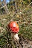 Muscaria мухомора Стоковое Изображение