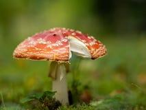 Muscaria мухомора, toadstool, пластинчатый гриб мухы стоковое изображение rf