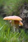 muscaria мухы amanita agaric Стоковые Изображения RF