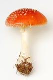 muscaria amanita Стоковое Фото