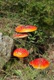 muscaria amanita Стоковое Изображение RF
