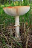 muscaria amanita Стоковые Изображения