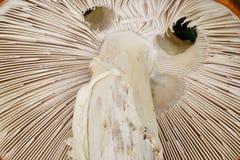 Muscaria d'amanite Photos stock