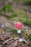 Muscaria d'amanite Photo stock