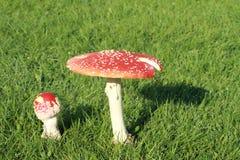Muscaria d'amanite de deux champignons de couche Photographie stock