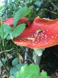 Muscaria de la amanita - setas rojas venenosas imagen de archivo libre de regalías