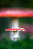 Muscaria de la amanita, una seta venenosa en un bosque Fotos de archivo libres de regalías