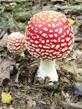 Muscaria dell'amanita Immagine Stock