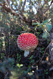 Muscaria dell'amanita del fungo Immagini Stock