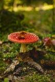 Muscaria dell'amanita del fungo dell'allucinogeno e della sostanza tossica Fotografia Stock