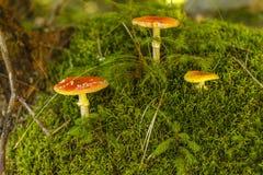 Muscaria dell'amanita del fungo dell'allucinogeno e della sostanza tossica Immagini Stock Libere da Diritti