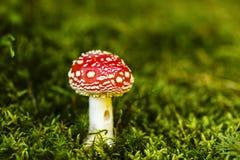 Muscaria dell'amanita del fungo dell'allucinogeno e della sostanza tossica Fotografie Stock
