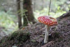 Muscaria dell'amanita in foresta - fungo tossico Fotografia Stock Libera da Diritti
