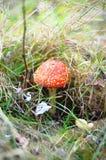 Muscaria do amanita Fotografia de Stock Royalty Free