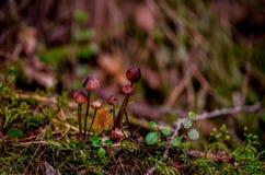 Muscaria do amanita, cogumelo venenoso A foto foi recolhida o fundo natural da floresta imagem de stock royalty free