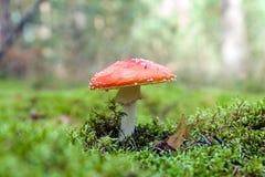 Muscaria do amanita do cogumelo do Agaric de mosca Foto de Stock
