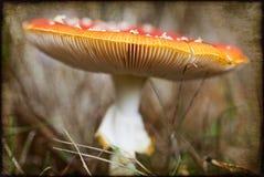 muscaria för agaricamanitafluga fotografering för bildbyråer
