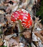 Muscaria rouge d'amanite Photo libre de droits