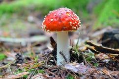 Muscaria rouge d'amanite Photographie stock libre de droits
