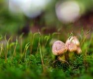 Muscaria tossico dell'amanita del fungo Fotografia Stock Libera da Diritti